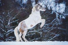 Pferd steigt in Winterlandschaft | Pferdefotografie | Pferd | Pferd Tricks | Horse