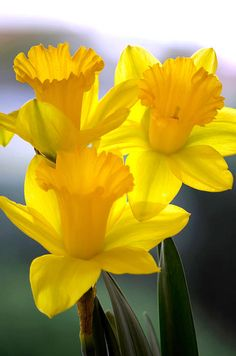 Daffodils Spring Forth by Deb Halloran This.