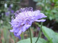 Driveway Group: Pincushion Flower