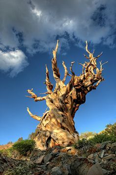 :) Ancient Bristlecone Pine Tree