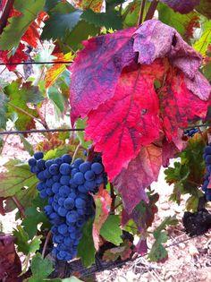 <p>Es 15 de septiembre en un viñedo en la Rioja. El año ha sido extraordinariamente cálido. Es un poco pronto pero no sería extraño adelantar el momento de la vendimia. La viña responde a la climatología del año, madurando las uvas aceleradamente en los años cálidos necesitando más tiempo en …</p>