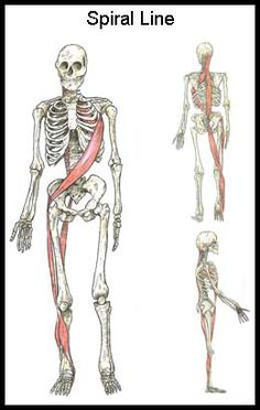 "The Body's ""Spiral Line"" (and Why You Should Do Things Like Side Lying Windmills and Cable Chops/Raises) Spiral Line, Psoas Release, Muscle Anatomy, Sport Fitness, Anatomy And Physiology, Massage Therapy, Physical Therapy, Pilates, Fascia Stretching"