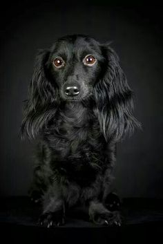 Black doxie