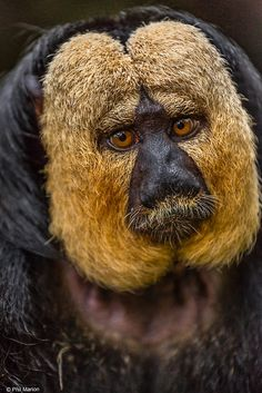 White-faced Saki monkey - Singapore