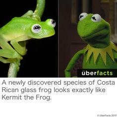 Kermit is real!!!