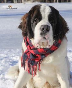 Sweet Snout Big Dogs, I Love Dogs, Cute Dogs, Baby Puppies, Dogs And Puppies, Doggies, Cute Baby Animals, Animals And Pets, St Bernard Puppy