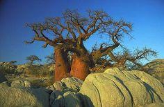 baobab, reminds me of my bush house in zimbabwe
