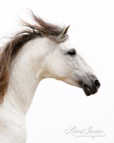White Stallion Runs  -Fine Art Horse Photograph by WildHoofbeats (Carol Walker), $35.00 etsy // A white Andalusian stallion runs at sunrise in Ojai, Califonia.