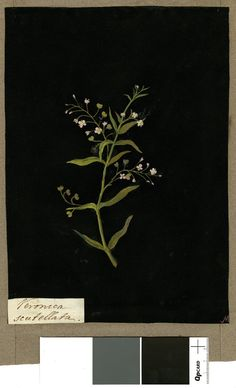 Veronica Scutellata, from an album (Vol.IX, 80). 1779 Collage of coloured papers, with bodycolour and watercolour, on black ink background