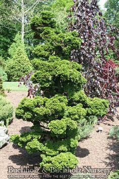 Chamaecyparis obtusa 'Reis Dwarf'  Reis Dwarf Hinoki Cypress