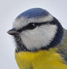 Mésange bleue. Close-up