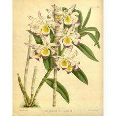 Dendrobium Crystallinum Orchid