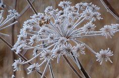 Frosty seedhead winter garden