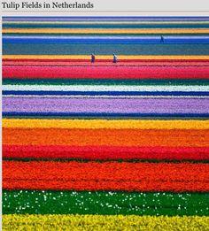 Campo tulipanes