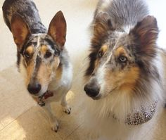 Patches, smooth blue merle collie with her buddy Spirit a rough blue merle collie.  Two therapy dogs.
