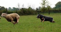 would love to see Zephyr try this some time, though, am not sure he wouldn't just eat the sheep