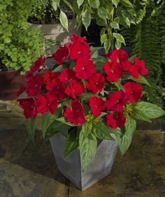 SunPatiens® Compact FIRE Red