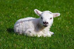 Sweet Heart Touching Lambs (18)