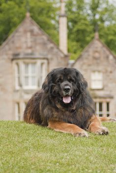 Leonberger. Yes, please!