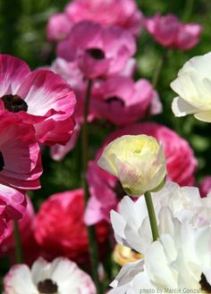 Close up of pink and white Ranunculus at The Flower Fields .. http://www.theflowerfields.com