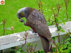 https://www.facebook.com/WonderBirdSpecies/ New Zealand kākā (Nestor meridionalis); Endemic to New Zealand; IUCN Red List of Threatened Species 3.1 : Endangered (EN)(Loài nguy cấp)    Vẹt kaka New Zealand; Loài đặc hữu New Zealand; HỌ VẸT CÚ NEW ZEALAND - STRIGOPIDAE (New Zealand parrots).
