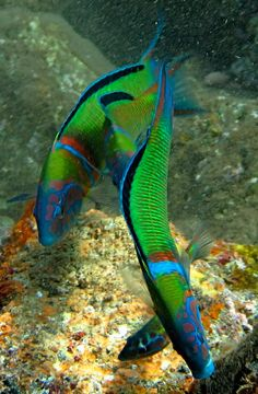 Ornate Wrasse Canary Islands, Spain