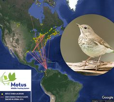 Motus tracking of Gray-cheeked Thrush. Map courtesy of Bird Studies Canada, Environment and Climate Change Canada, Selva Colombia, and Universidad de los Andes Colombia. Photo of Gray-cheeked Thrush by Robert Visconti.