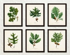 OAK LEAF BOTANICAL PRINT SET NO. 3 - 6 GICLEE CANVAS PRINTS  *Our prints were featured in Season 3 of Fixer Upper!  This print set features 6 antique Oak Leaf illustrations which have been digitally enhanced and added to a lightly aged vintage background which retains some of the tea stained imperfections of a time worn patina adding to their vintage charm. ******PLEASE NOTE****** that 4 of the leaf prints displays a straight edge where the leaf appears to be cut off. This is true to the…
