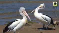 Australian pelicans, Kangaroo island