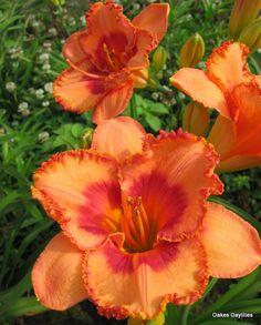 GARDEN CHAPEAU - Oakes Daylilies