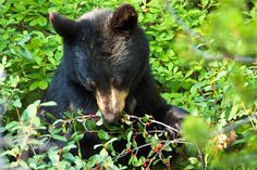 https://flic.kr/p/fyFL8m | _MG_2014 - Bearly a snack.   ©Jerry Mercier | A black bear eating berries along the Icefields Parkway in Banff National Park, Alberta, Canada