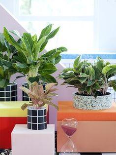 Kolbenfaden als Feng-Shui-Element– Pflanzenfreude.de