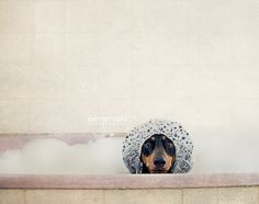 Ralph in the bath photographed by Serenah Photography #dachshund #serenah_photography