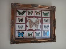 Vintage Butterfly / Moth Framed Specimen Taxidermy from around the world.