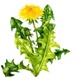 Dandelion Flower, Flower Doodles, Spring Activities, Botanical Illustration, Flower Crafts, Daffodils, Watercolor Flowers, Spring Flowers, Paper Flowers