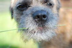 'Dave' Border Terrier | Yummy grass!