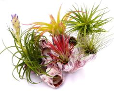 7 inch Clump of Barnacles with 5 Colorful Airplants | eBay