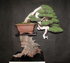 Mauro Stemberger Itoigawa Juniper (Juniperus chinesis) Height: 65 cm, 25.59 inches Pot: Chinese
