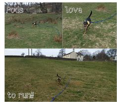 podenco orito running in a secure open field, dog running