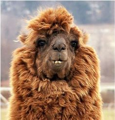 "Wow, camel after a day at the hair salon. ""I told her to ease back on the blow-dry!""... <3"