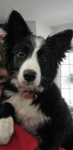 """Puppy Asha the border collie .A Natural Poser for the camera.""""How Adorable a. - Puppy Asha the Border Collie from the Beginning only just begun - Puppies Cute Puppies, Cute Dogs, Dogs And Puppies, Doggies, Border Collie Puppies, Collie Dog, Australian Shepherds, West Highland Terrier, I Love Dogs"""