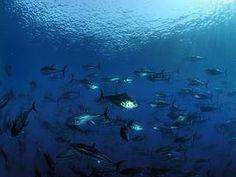 WWF solicita a la Comisión límites estrictos de capturas para salvar el atún rojo en el Pacífico