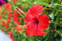 Exotic red hibiscus in bloom. Photographed by Julia Apostolova Hibiscus, Exotic, Greeting Cards, Bloom, Fine Art, Wall Art, Unique, Flowers, Plants