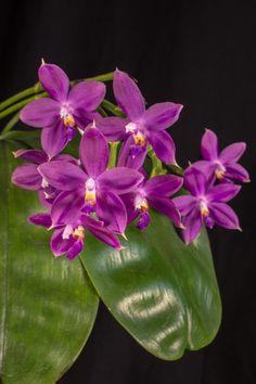 Phal. tetraspis x violacea ( Jennifer Palermo )