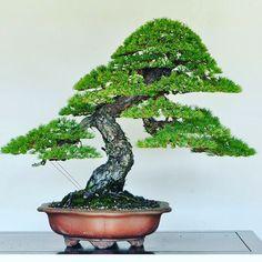 Pinheiro Branco Estilizado Por Naoki Maeoka Simplesmente Beleza Pura Naokimaeoka Bonsai Bonsaitree Bonsai Tree Bonsai Tree Types Bonsai Trees For Sale