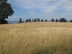 wheat fields on Veno, Denmark