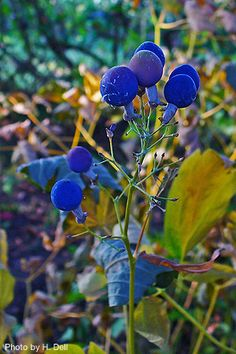 Blue Cohosh (Caulophyllum thalictroides), also known as Squaw Root, is a choice woodland wildflower treasured for its lacy, blue-green foliage and deep blue berries Shade Garden, Garden Plants, Backyard Plants, Herb Garden, Yellow Flowers, Wild Flowers, Woodland Garden, Shade Plants, Flowering Trees