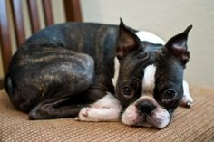 Boston Terrier – Friendly and Bright Boston Terrier Temperament, Brindle Boston Terrier, Boston Terrier Love, Boston Terriers, Terrier Breeds, Terrier Puppies, Dog Breeds, Terrier Mix, I Love Dogs