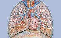 Human Heart and Lungs - Anatomy of the central chest and heart area showing the lungs with pulmonary arteries and veins.