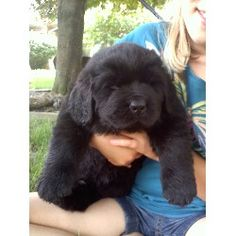 Lighthouse Newfoundlands, Newfoundland Dog Breeder in Grafton ...